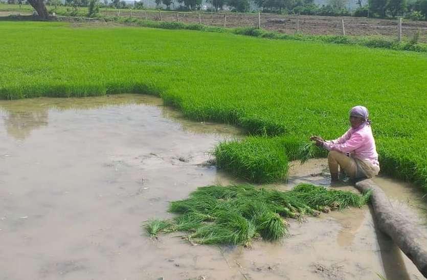 झापामा किसानले माघमै रोपे धान