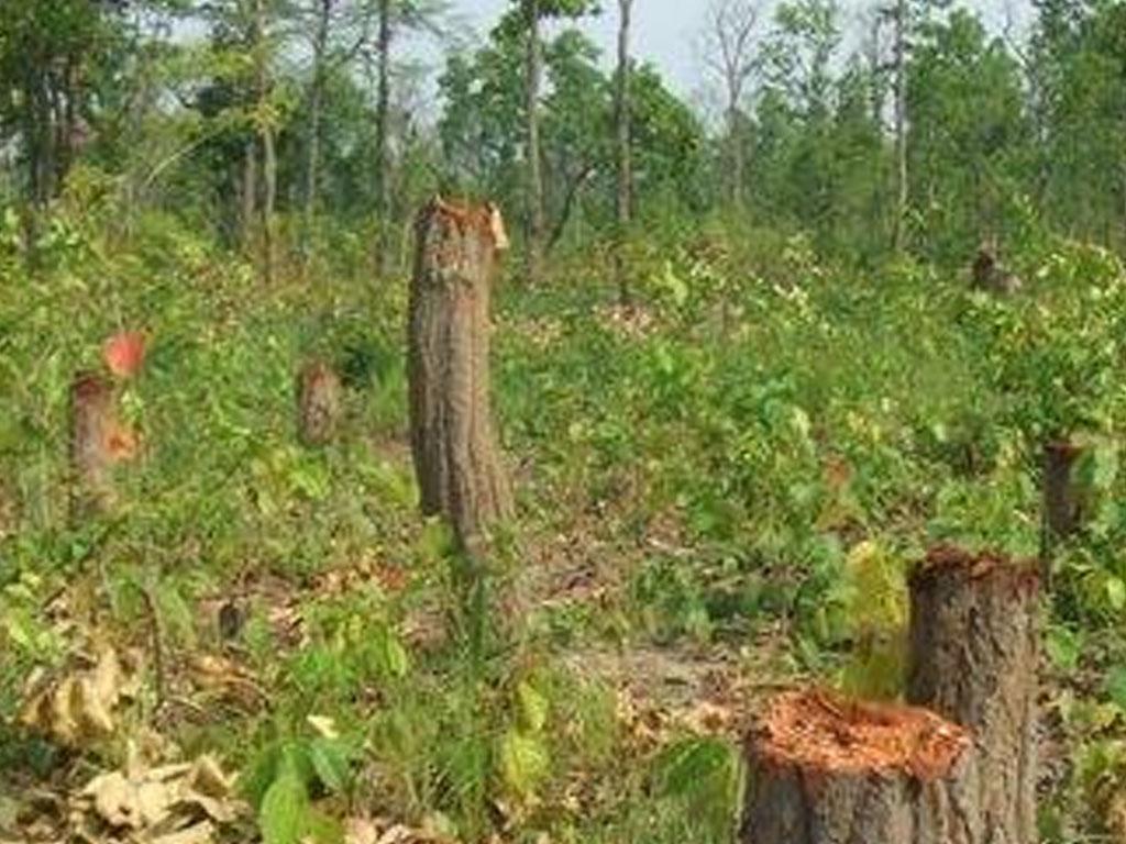 झापाको कनकाईमा ठाडै सुकेका रुखका कारण वन नै उजाडियो