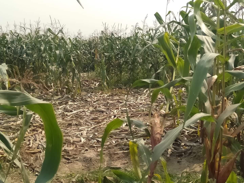 जङ्गली हात्तीले सक्यो मकै खेती, झापाका किसान चिन्तित