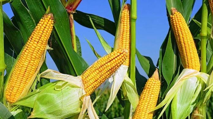 व्यापारीले घटाए मकैको मूल्य, झापाका किसान चिन्तित :: Times of Pradesh