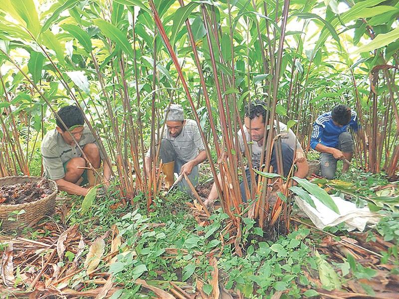 छिर्के, फुर्के र जुरजुरे रोगका कारण मासिन थाल्यो अलैँची, इलामका किसान चिन्तित